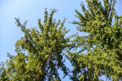 Branches of young spruce tree in spring against clear blue sky, shallow depth of field photo only few parts in focus. Abstract springtime forest background royalty free stock photo