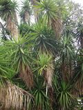 Branches of the yucca plant royalty free stock photo