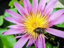 Branchez le miel de recherche dans le pollen de la floraison waterlily et verdissez sur table d'écoute les feuilles Photographie stock libre de droits