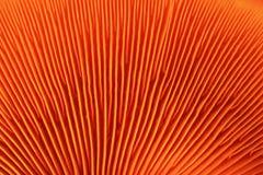 Branchie arancioni del fungo fotografie stock libere da diritti