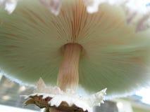 Branchie del fungo fotografia stock libera da diritti