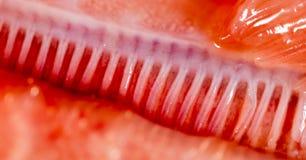 Branchie del pesce del luccio Macro eccellente fotografie stock libere da diritti