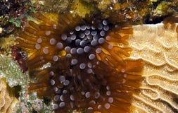 Branching anemone Stock Photos