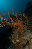 Branching black coral (anthipathes dichotoma) in the Red Sea. Branching black coral in the Red Sea royalty free stock photos
