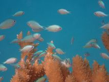 Blue chromis damselfish lagoon of bora fakarava french polynesia. Branching coral and chromis viridis, blue green chromis around, lagoon and coral reef with royalty free stock photography