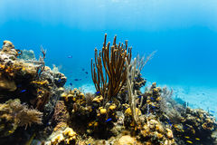 Branching coral rises high above other corals and sponges on coral reef. While blue fish swim around stock photography