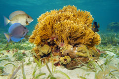 Branching fire coral and tropical fish. Seabed with branching fire coral, Millepora alcicornis, and tropical fish in the Caribbean sea Stock Image