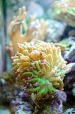 Branching Hammer Coral. (Euphyllia parancora royalty free stock photography