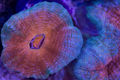 Branching Lobophyllia. This is a branching Lobophyllia stony coral royalty free stock images