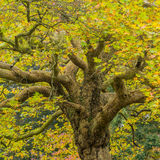 Branching Off. The trunk and branches of a tree rise up through the leaves royalty free stock photography