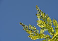 Branching out into a large branch. The tree is breaking There is a blue sky in the background stock photo