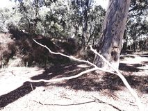 Branching Out. Local area tree pics royalty free stock photos