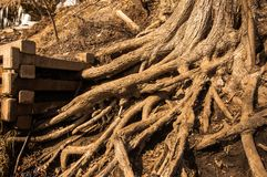 Branching of roots. Between concrete Stock Image