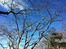 Branching tree. Blue sky and big branching tree Royalty Free Stock Photo