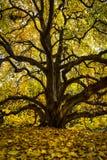 Branching tree at Missouri Botanical Garden. A branching tree at the Missouri Botanical Garden in fall stock photos