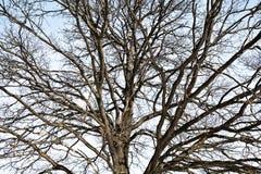 Branching tree oak. Branching tree head against the blue sky stock photos