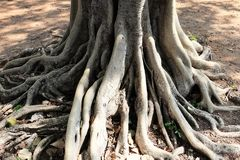 Branching of Tree Roots on The Ground. Big Tree Roots System of The Tree Growing and Branching on The Ground royalty free stock images