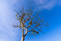 Branching tree, a tree without leaves. The drought, the trees, breaking branches, sky Stock Photo