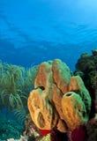 Branching tube sponge. Underwater off the coast of Roatan Honduras - branching tube sponge (pseudoceratina crassa Royalty Free Stock Photography