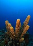 Branching tube sponge. Pseudoceratina crassa on reef Stock Image