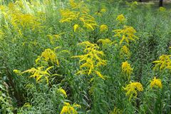 Branching yellow inflorescences of Solidago canadensis. In summer royalty free stock photos