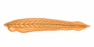 Branchiostoma illustrazione di stock