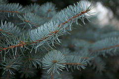 Branchlet of Blue Fir Tree Royalty Free Stock Image