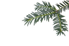 Branchlet of christmas tree. In the corner isolated on white background Royalty Free Stock Photo