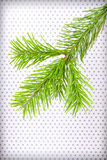 Branchlet of christmas tree Royalty Free Stock Photos