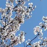 Branchs élevés 2018 de fleurs de cerisier de parc de Toronto Image libre de droits