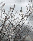 在湖旁边的白色冬天花 免版税库存照片