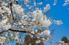 Branchs av det körsbärsröda trädet med blommor royaltyfri fotografi