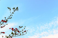Branchs and blue sky Stock Photography