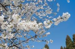 Branchs da árvore de cereja com flores Fotos de Stock Royalty Free
