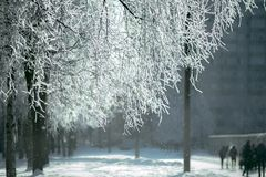 Branchs de Birchs en el hoar Imagen de archivo libre de regalías