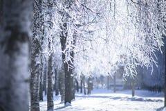 Branchs de Birchs en el hoar Foto de archivo libre de regalías