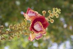 Branchs de la flor y del brote del obús Fotos de archivo