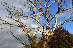 Into Branchs of Dead Tree Royalty Free Stock Image