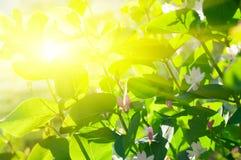 branchs nad promienia słońcem Obraz Royalty Free