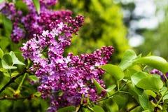 Branchs sboccianti del lillà Fotografie Stock