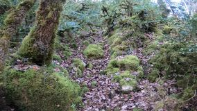 Branchs and trees covered with moss in pyrenean forest, France. Branchs and trees covered with moss in pyrenean forest, Aude in south of France stock video