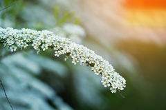 Branchsmall flowers, bush of small white florets. Stock Photo