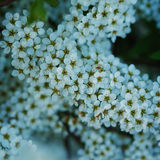 Branchsmall flowers, bush of small white florets. Royalty Free Stock Image