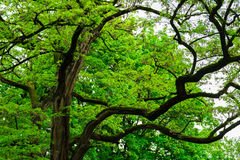 Branchy big old tree in japanese forest, mystery fairytale concept, botanical background Stock Images