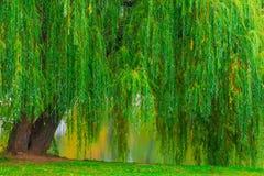Branchy grön gammal pil som hänger över sjön Arkivbild
