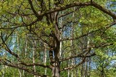 Branchy krone av en ek Arkivbilder
