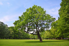 Branchy maple stands in center park Stock Images