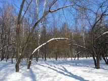 Trees in the winter park. Branchy trees. Arcs of the trees in the winter park. Deep snowdrifts with shadows, clear sunny day stock photography
