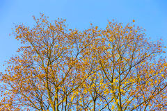 Branchy Trees with Autumn Leaves Royalty Free Stock Photo