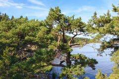 Branck дерева сосенки Стоковое Изображение RF